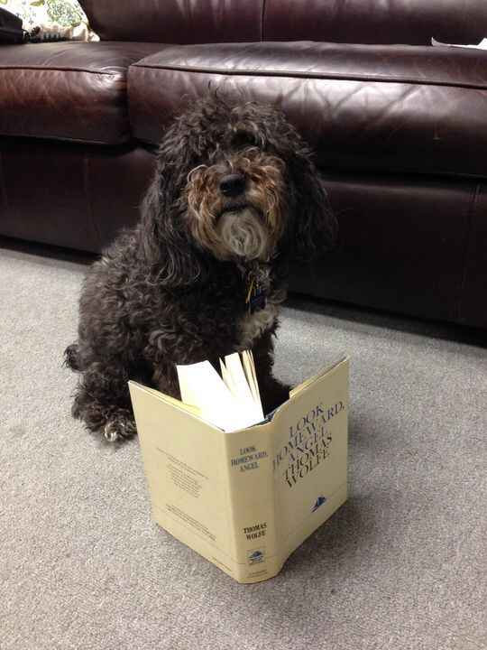 Here's another photo of Louie, office dog extraordinaire, reading LOOK HOMEWARD, ANGEL by Thomas Wolfe. Isn't he (Louie)...